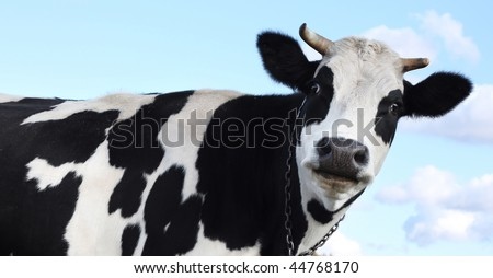 Cow over blue sky with clouds