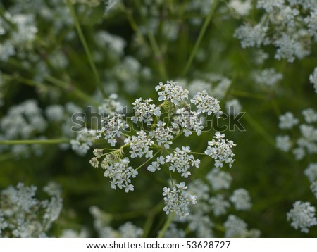 Cow Parsley - stock photo