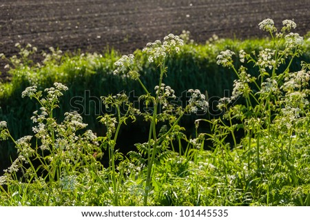 Cow Parsley or Anthriscus sylvestris at the edge of a ditch in springtime.