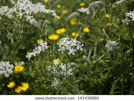 Cow parsley or Queen Anne's Lace growing with yellow buttercups in the hedgerow in summer