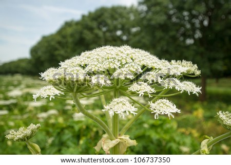 Cow parsnip along trees in summer