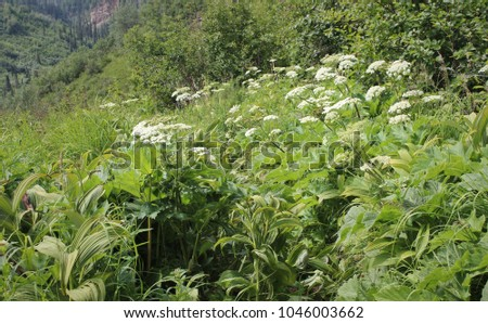 Cow Parsnip on Mountainside Trail #1046003662