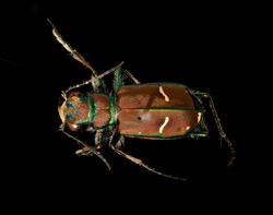 Cow Path Tiger Beetle - Cicindella purpurea , Flying insect , side