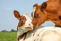 Cow playfully cuddling another young cow lying down in a pasture under a blue sky, calves love each other
