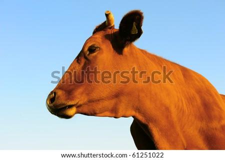 cow- portrait