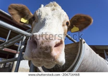 Cow portrait against blue sky, Bavaria, Germany