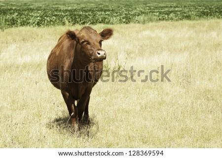 Cow portrait in prairie