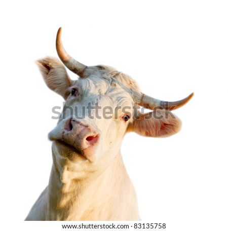 Cow portrait, isolated on white background - stock photo