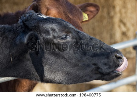 Cow portrait while licking pine tree branch