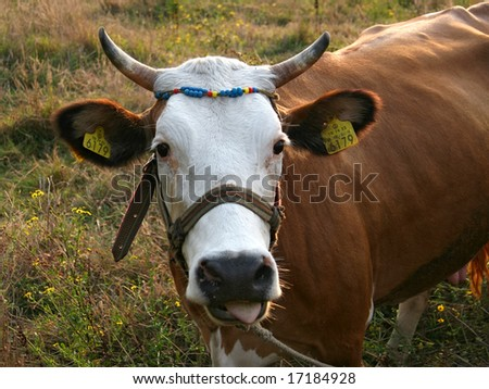 Cow portrait with barcode tags