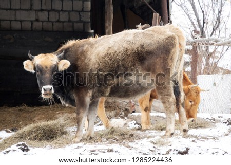 Cow red suit and strong physique in the barnyard. Cattle breeding in the Caucasus