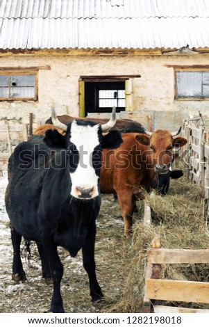 Cow red suit and strong physique in the barnyard. Cattle breeding in the Caucasus. Aberdeen-Angus breed and hybrids