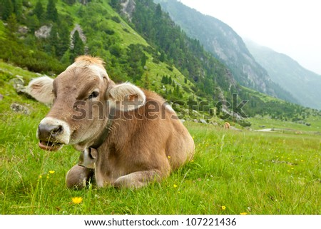 Cow relaxing in alpine meadow