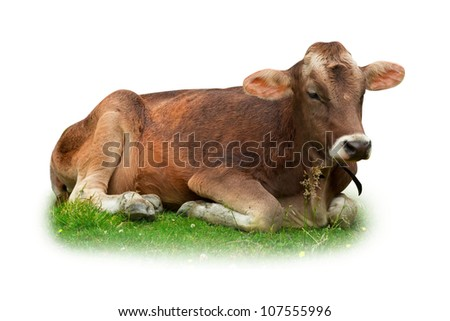 Cow relaxing on grass isolated on white