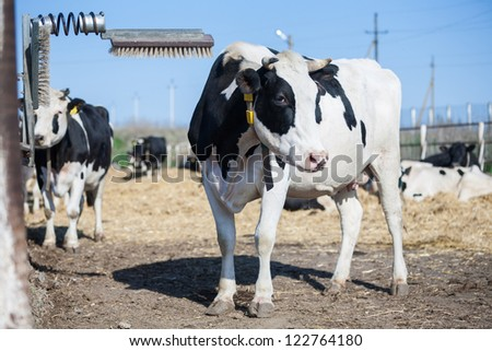 Cow scratches her head while having a rest on a farm