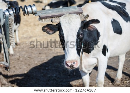 Cow scratches her horn while having a rest on a farm