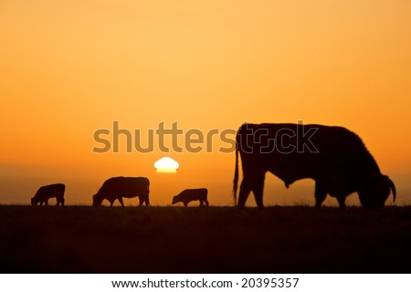 Cow silhouettes with golden light during sunset