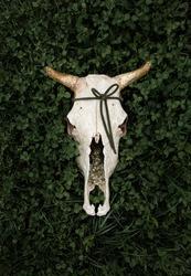 Cow skull in green grass