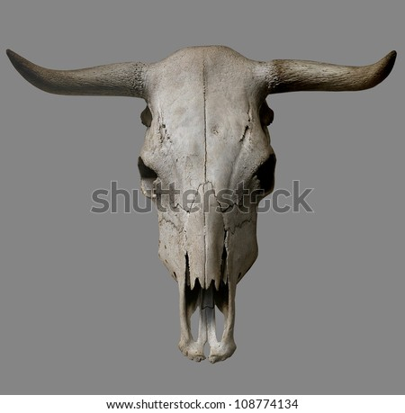 Cow skull on gray background.
