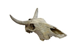 Cow skull with horns on white (path in side)