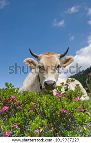 Cow spends the summer months on an alpine meadow in the Stubai Alps #1019937229
