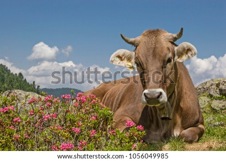 Cow spends the summer months on an alpine meadow in the Stubai Alps #1056049985