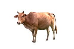 Cow standing isolated on white background with clipping path.
