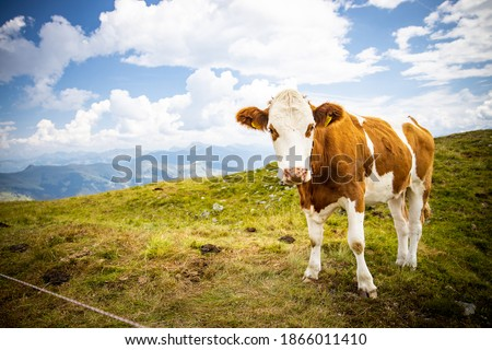 Photo of  Cow Standing on Top Mountain Brown
