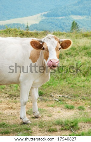 Cow sticking its tongue in its nose. Carpathian mountain, Ukraine.