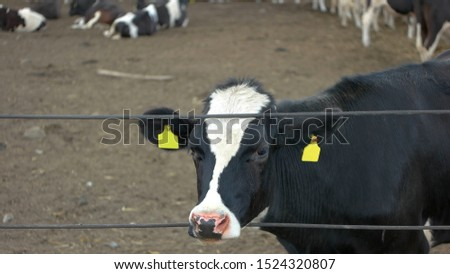 Cow sticks head through fence. Herd of cattle. Farm sells animals. Price of livestock has grown.