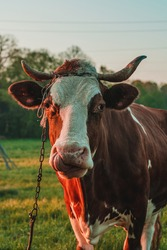 Cow strapped to a leash grazes in a meadow, a Ukrainian village. Breeding cows in the countryside.