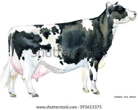 cow watercolor illustration. Holstein Breed. farm animal