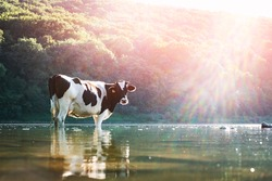 Cow watering in the river. Animal photography