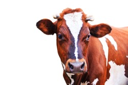 cow with beautiful eyes isolated on white background, production and agriculture
