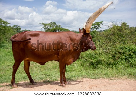 cow with big horns