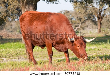 Cow with big horns in the field