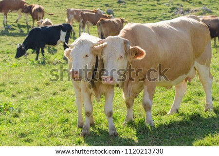 Cow with her calf in herd grazing on fresh green Alpine pasture #1120213730