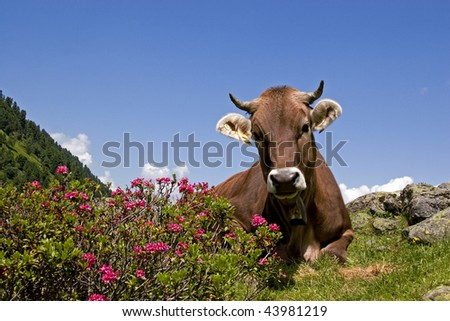 cow with mountains