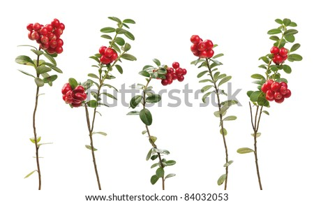 Cowberry (lingonberry) twigs isolated on white background. Vaccinium vitis-idaea.