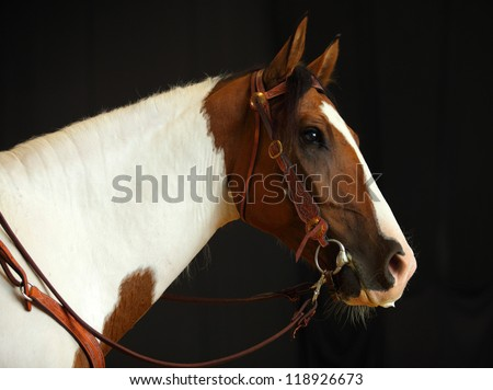 Cowboy's pinto horse in black background