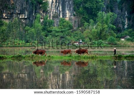 Cowherd driving three cattle, Vietnam, Southeast Asia, Asia