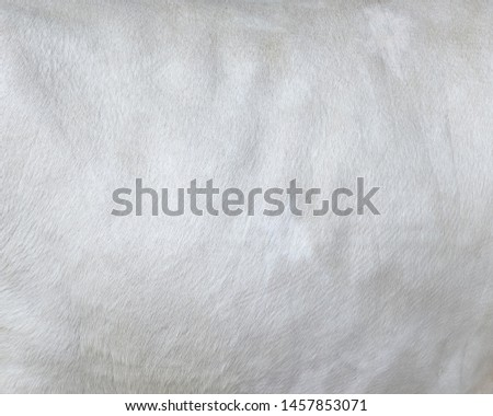 Cowhide close up. White hair cow skin. Real genuine natural fur, free space for text. Texture of a white cow coat. White fur background. #1457853071