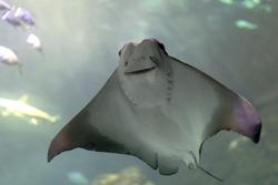 Cownose Ray swimming at the Aquarium