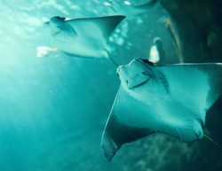 Cownose Rays swimming in blue waters at the Aquarium