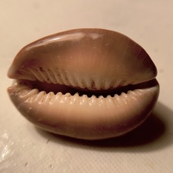 Cowries from Andaman Sea picked up from sea bed and are forty years old.