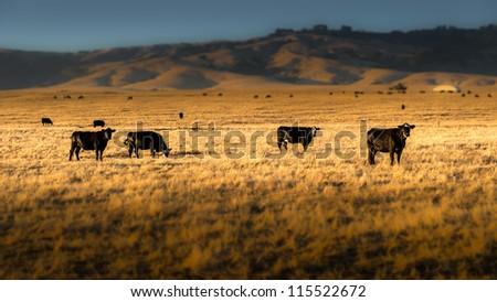 Cows #115522672