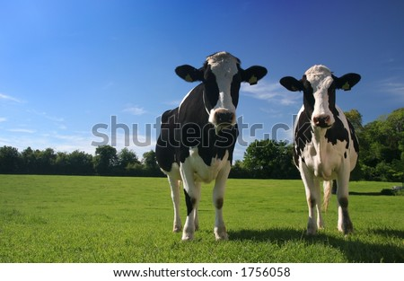 stock photo : cows