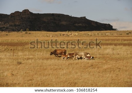 Cows and calves in a field, Rustler's Valley, Ficksburg, Free State, South africa