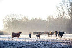 Cows and calves in the winter in the pasture in the morning sun