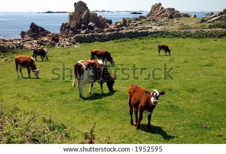 Cows and calves, St. Agnes, Isles of Scilly.